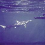 An inquisitive Blue Shark gets a snout rap 1975