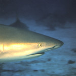 Bull Shark checks out the divers