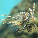 Red Lionfish by Petr Kratochvil