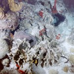 Stonefish on reef2